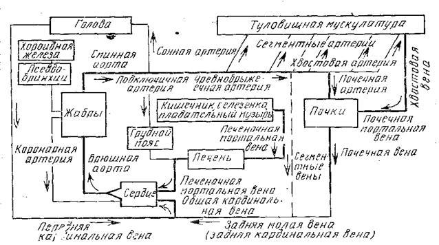 Схема кровеносной системы