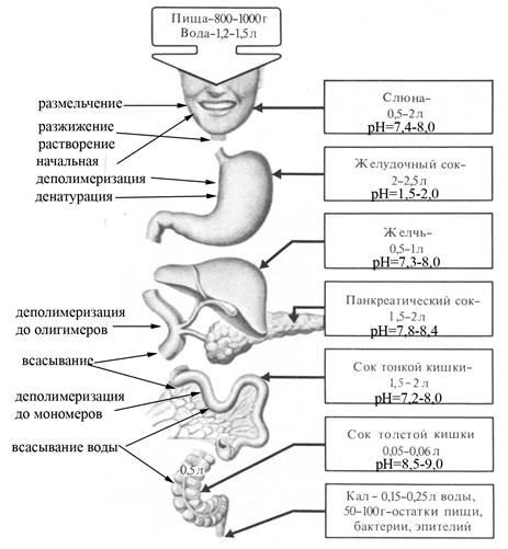 Схема строения пищеварительной системы человека фото 778