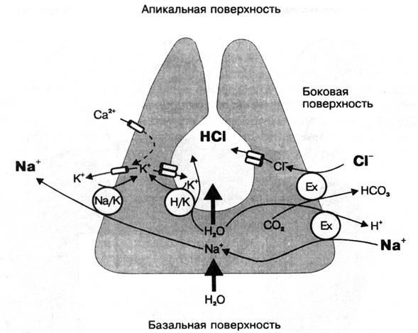 Блокаторы н2 гистаминовых рецепторов желудка