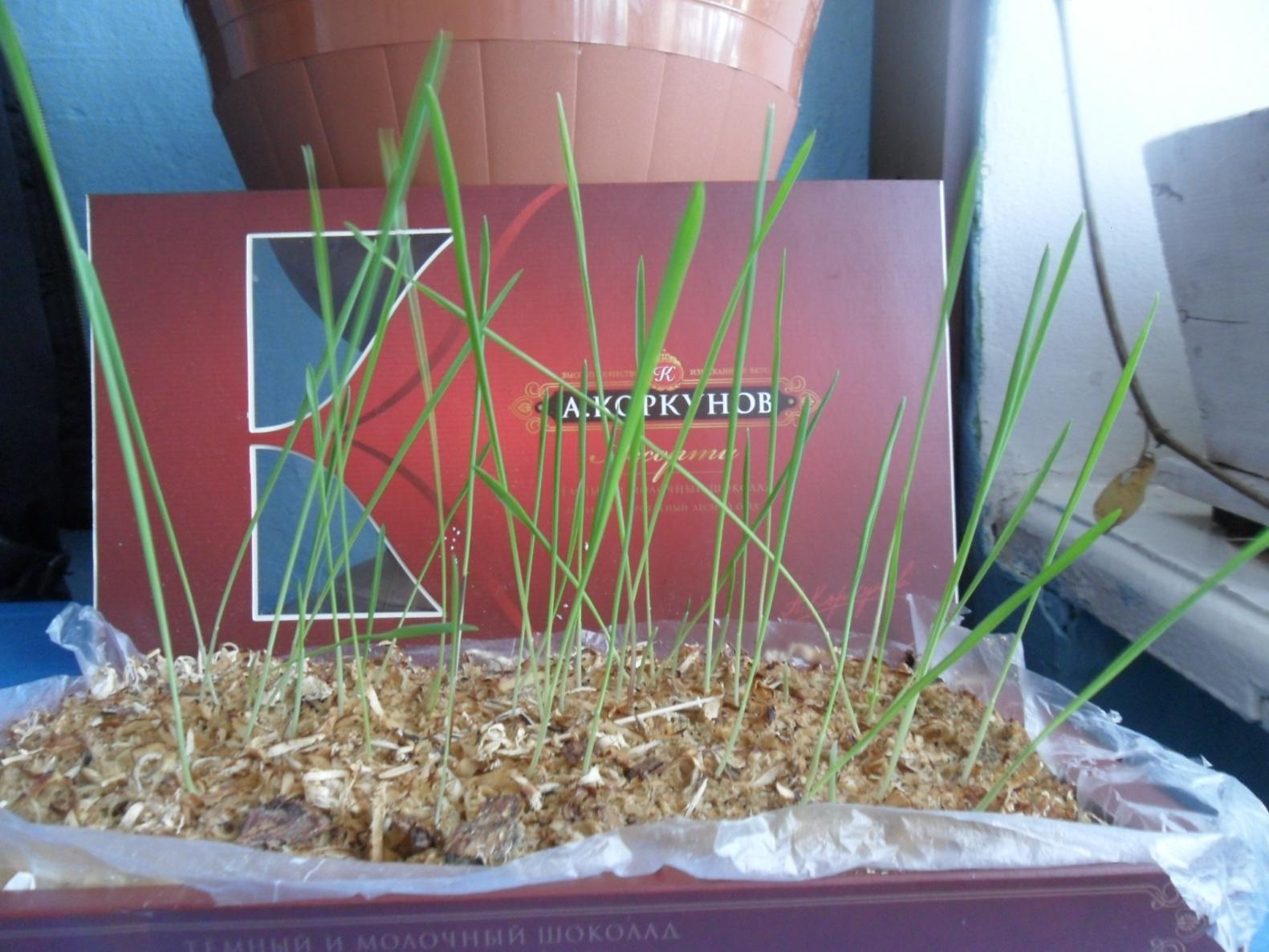 Овес для выращивания дома 23
