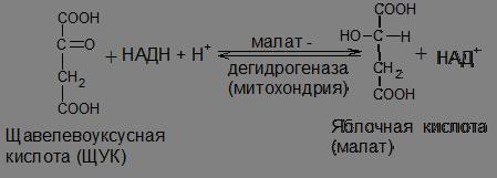 Янтарная кислота подвергается дальнейшему окислению
