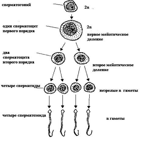 spermatozoidi-s-proreagirovavshey-akrosomoy