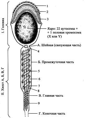 spermatozoid-shema-stroeniya