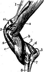 Мышцы локтевого сустава Экстензоры