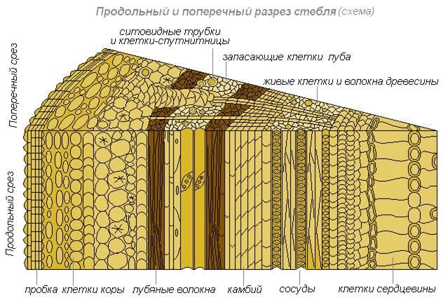 Внутреннее строение древеснога стебля