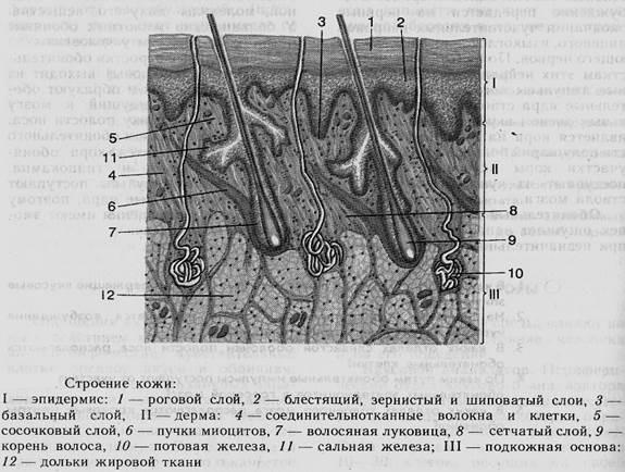 схема строения кожи человека фото