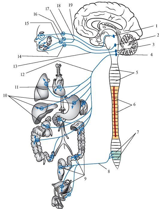 Часть Парасимпатическая Нервной Системы фото