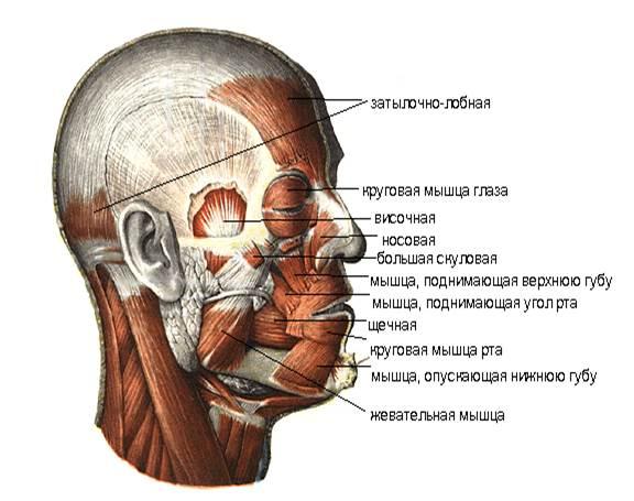 Найдите жевательные мышцы