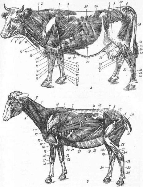 Мышцы коровы анатомия в картинках, новогодние кремлем