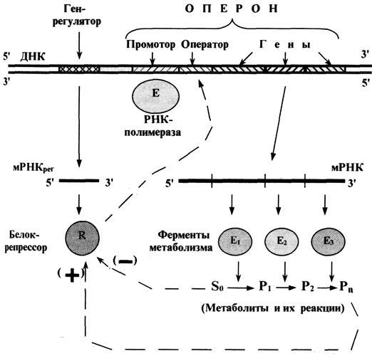 Схема функционирования оперона