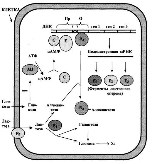 Схема лактозного оперона