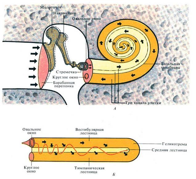 геликотрема