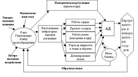 Схема функциональной системы регуляции минутного объема крови фото 475