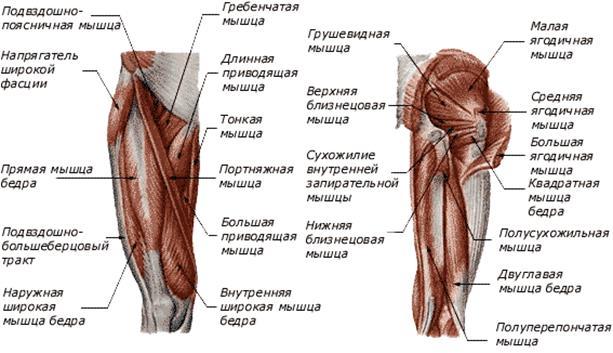 Сгибание бедра тазобедренного сустава обеспечивает группа мышц бедра боль в суставе пальца руки при нажатии