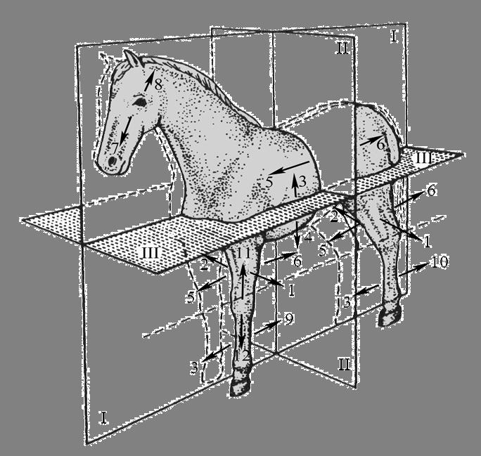 Сколько ребер у лошадей