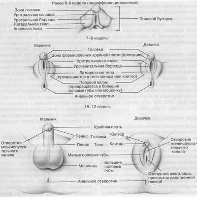 polozhenie-vlagalisha-pri-polovom-akte
