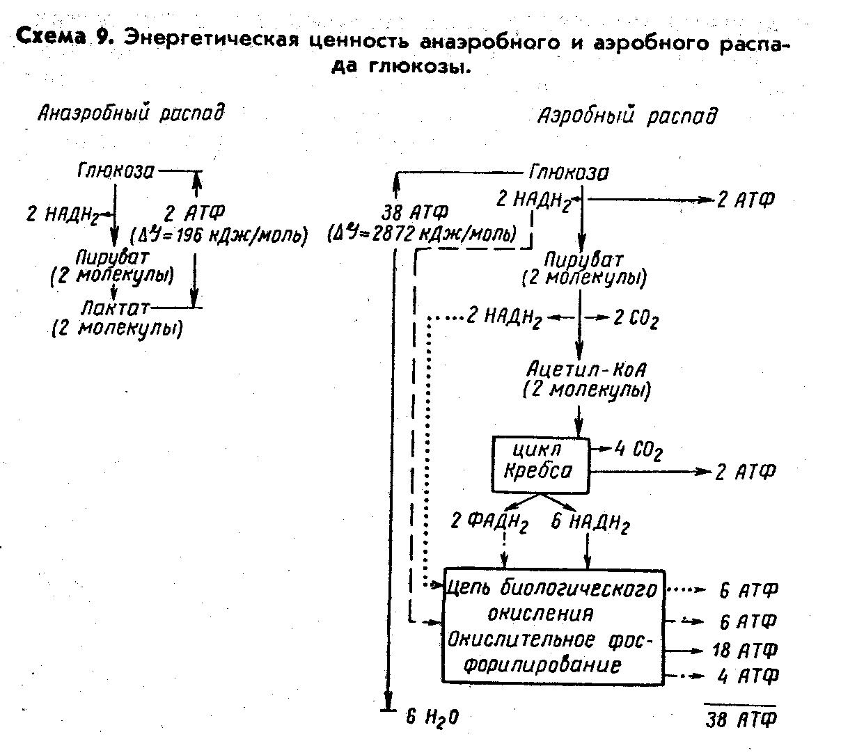 Схема аэробного распада глюкозы