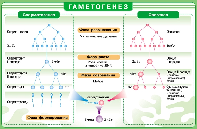 spermatozoid-chehlik-i-akrosoma