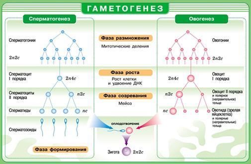 spermatogenez-sravnitelnaya-harakteristika