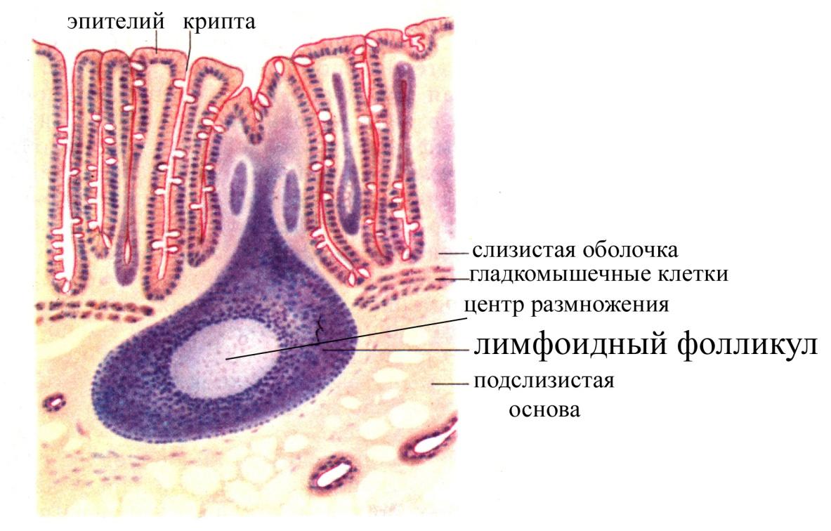 gipertrofiya-slizistoy-vlagalisha