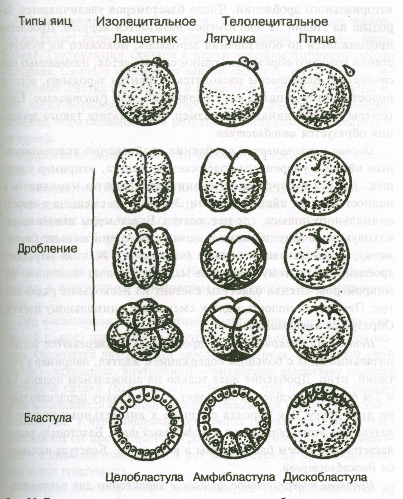 схема дробления зиготы