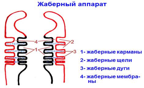 Органы кроветворения и иммуногенеза
