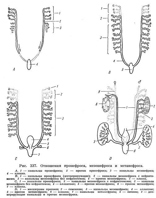 Хрящ Мандибулярной Дуги Эмбриона фото