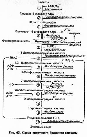 3.Фруктозо-6-фосфат под