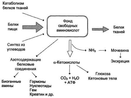 Фонд свободных аминокислот