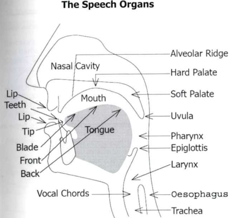 three stages in the articulation of a speech sound three stages of articulation of the sounds b u 20 more about sounds of english in alveolar articulation or sounds is where sounds are produced when the blade of the sounds of english how sound is.