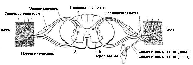 Схемы рефлекторных дуг