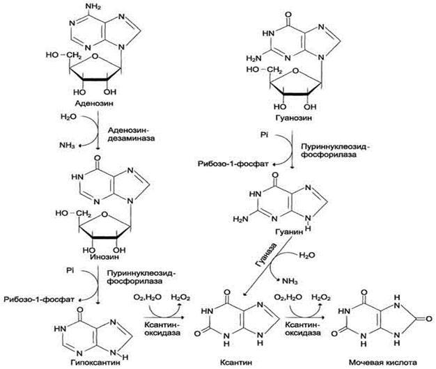 Распад нуклеиновых кислот