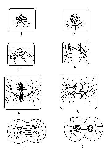 Схема митоза животной клетки