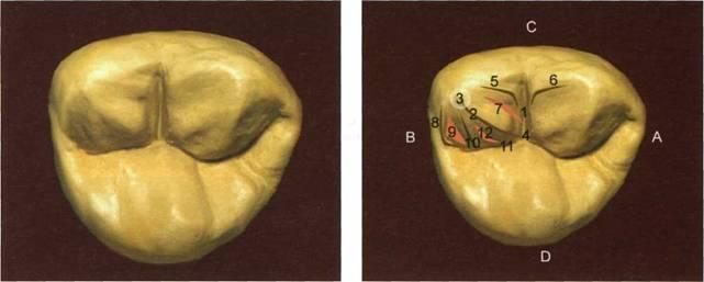 челюсти фото моляр верхней третий