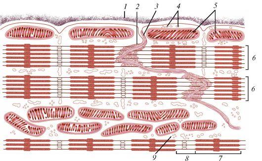 сердечная мышечная ткань