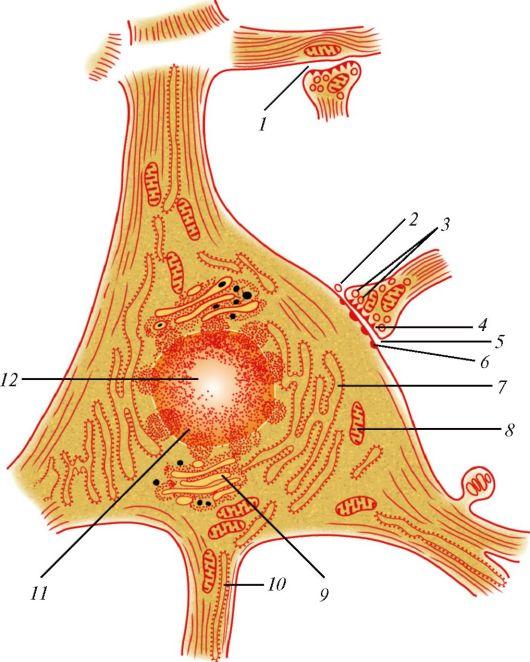 строения нервной клетки: 1