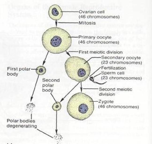 antitela-k-spermatozoydam