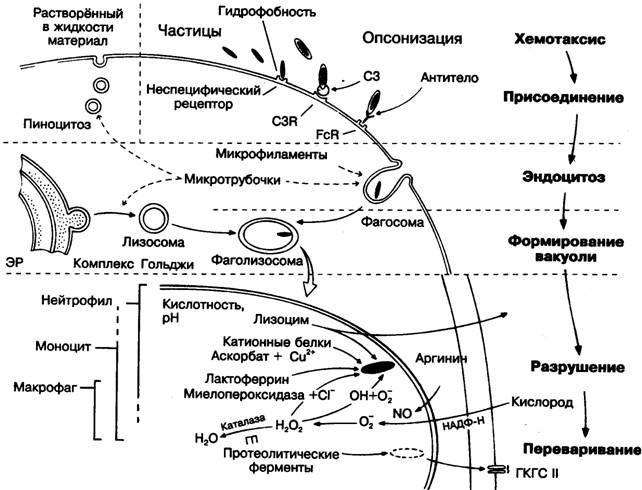Схема фагоцитоза.
