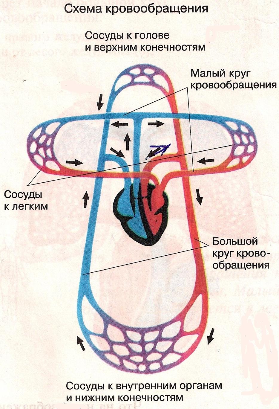 круги кровообращений картинки: http://mazurv.ru/page/krugi_krovoobrashenii_kartinki/