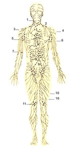 Отток лимфы из органов головы