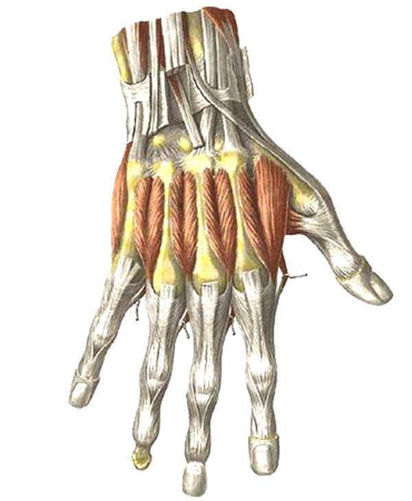 Сухожилие пальца руки картинка
