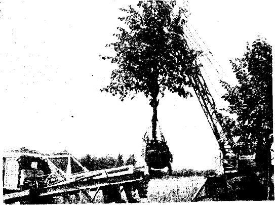 Работы по выкопке деревьев (до