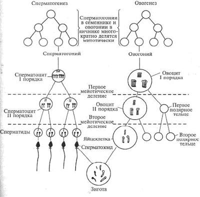 сперматогенеза и овогенеза