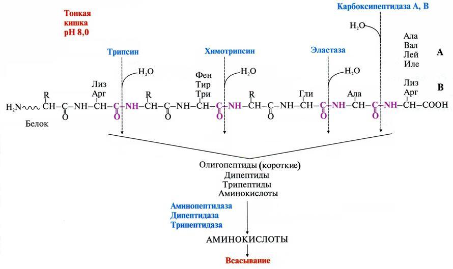 Дипептидаза