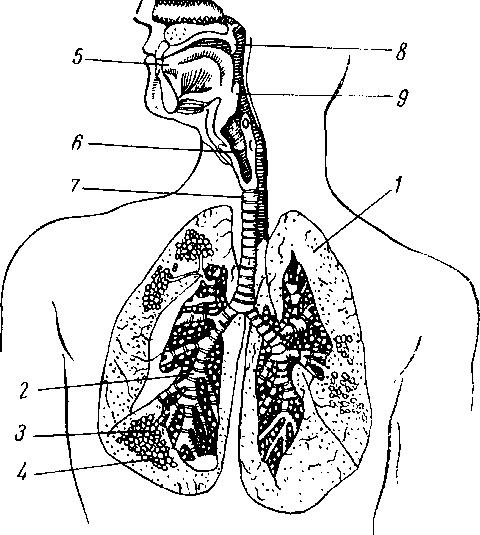 Схема строения легких, бронхов