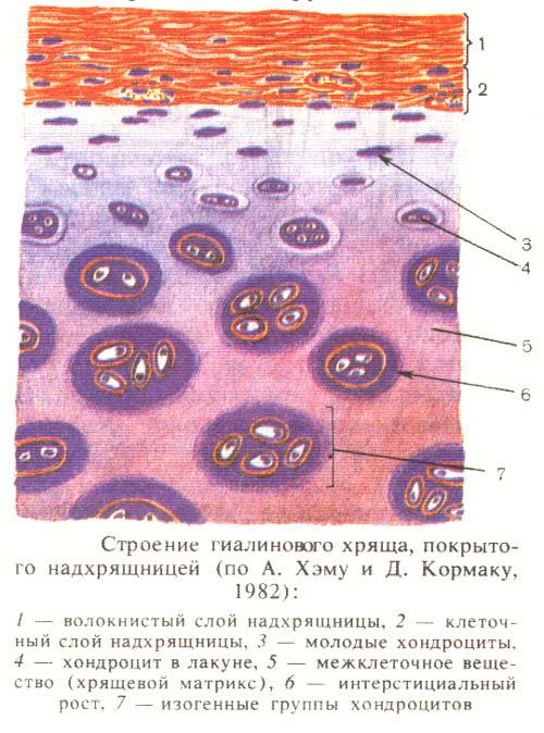 Хрящ Волокнистый