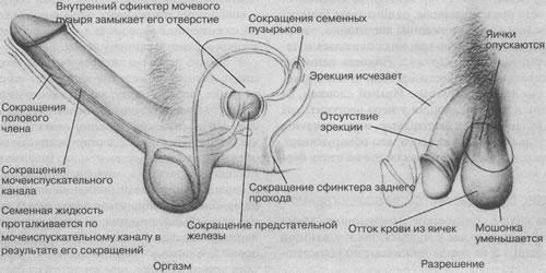 Фото полового члена оргазм