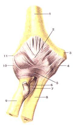 Лопатка сочленяется с ребрами образуя суставы да или нет мкб 10 артроз голеностопного сустава