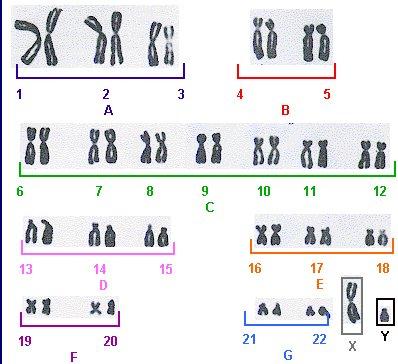 Занятие 4 Морфология хромосом. Кариотип человека | 364x398