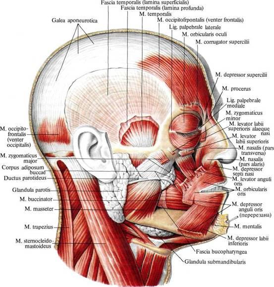 Мышцы кости суставы черепа запястно-локтевого сустава